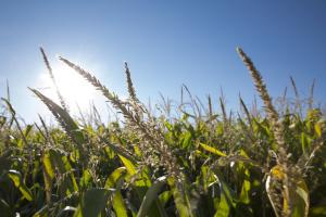 Düngung und Bewässerung von Mais