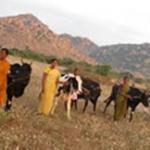 Bellota Agrisolutions stiftet 155 Kühe zur Bereitstellung von Mitteln in Indien.