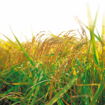 Siembra de cereales de trigo duro, tipo de trabajos agrícolas